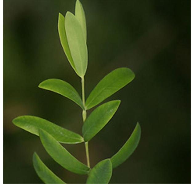 Un buen tratamiento para el acné: el aceite de árbol de té