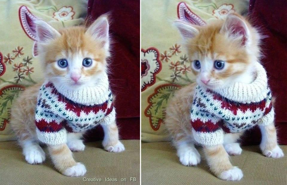Las mejores fotos de gatitos con jerseys de lana