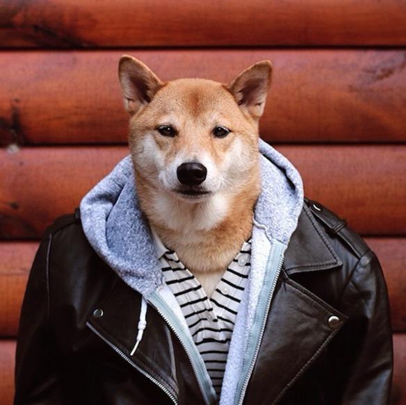 Este perro gana 15.000 dólares al mes como modelo de ropa de hombre