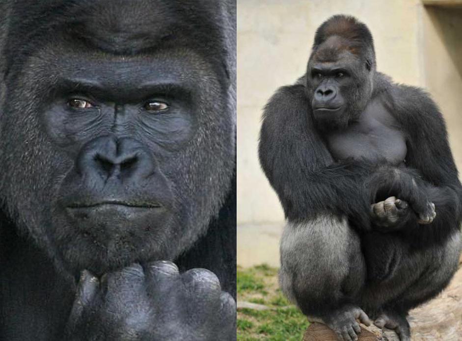 ¿Conoces ya al 'gorila sexy'?