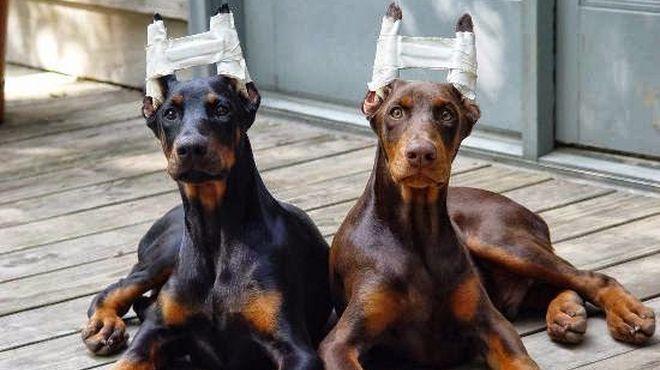 Cirugías plásticas a perros, la última moda en Corea del Sur